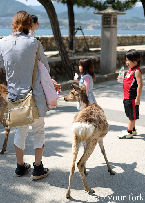Deer hunting for food on Miyajima Island