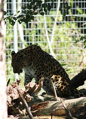 animal, big cats, cheetah, leopard, zoo, small to medium-sized cats, mammal, jaguar, fauna, wildlife,