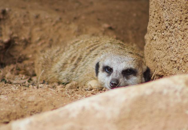 Meerkat at rest