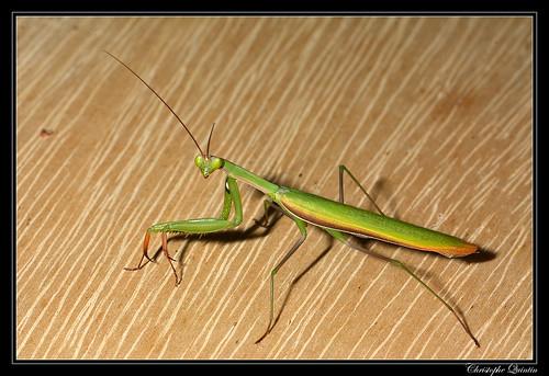 Mante religieuse (Mantis religiosa) mâle