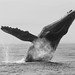 humpback whale by matt knoth