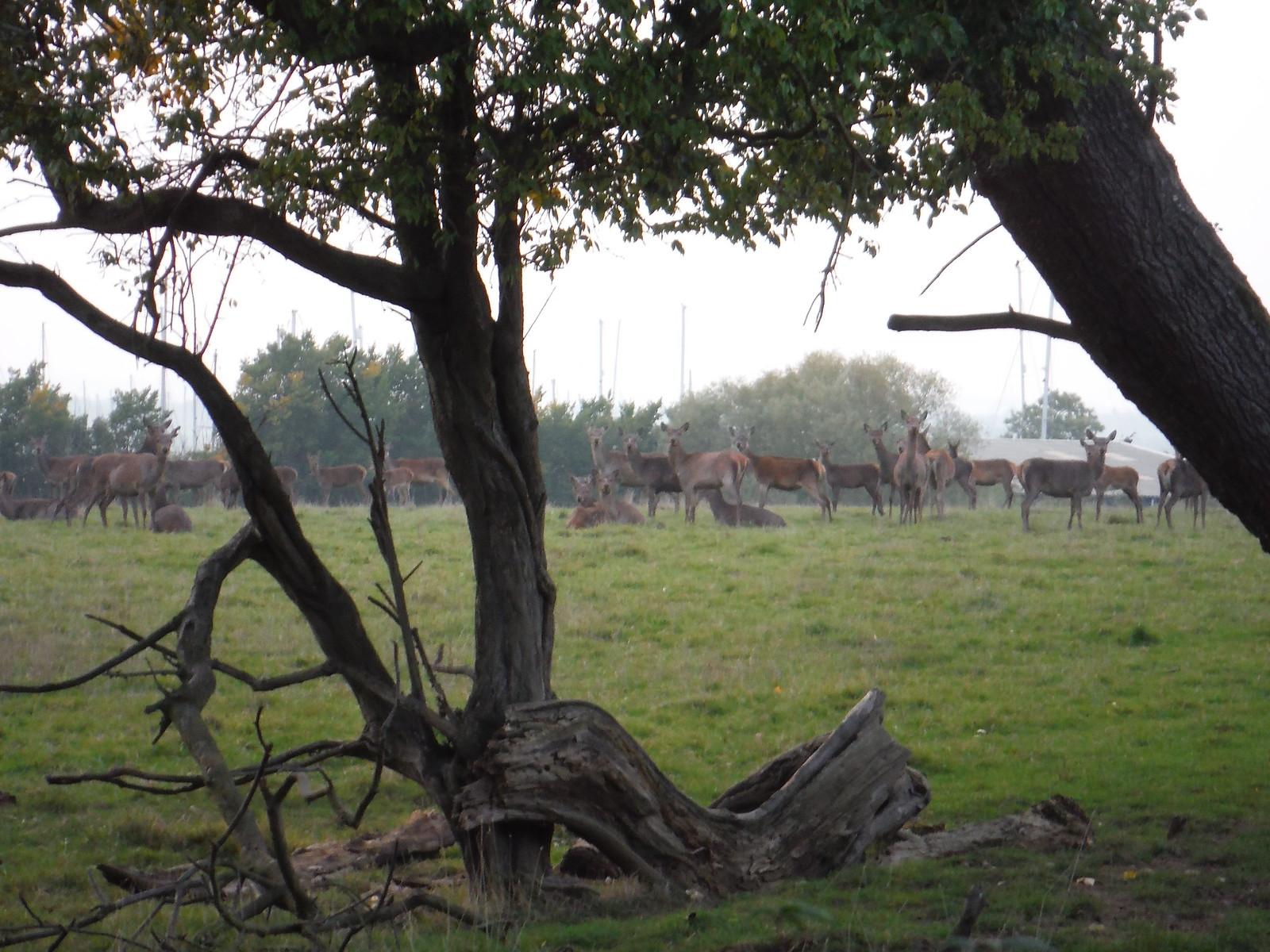 Deer in field next to North Fambridge Church SWC Walk 159 South Woodham Ferrers to North Fambridge