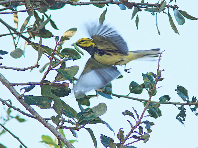Black-throated Green Warbler in flight 20151103