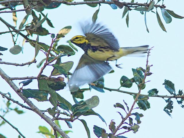 Black-throated Green Warbler in flight 20151103