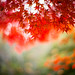 Blazing Red Leaves by moaan
