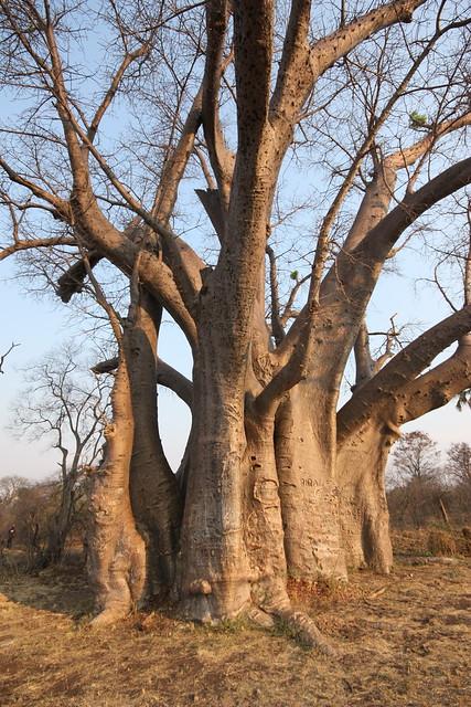 Baobab tree.