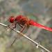 Broad Scarlet (Crocothemis erythraea) Ann Miles