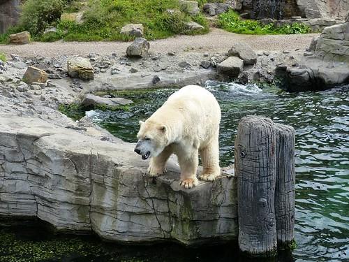 Eisbär Sprinter, Zoo Hannover