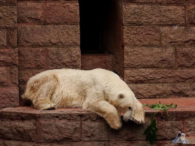 Eisbär Fiete im Zoo Rostock 15.08.2015 Teil 3 069