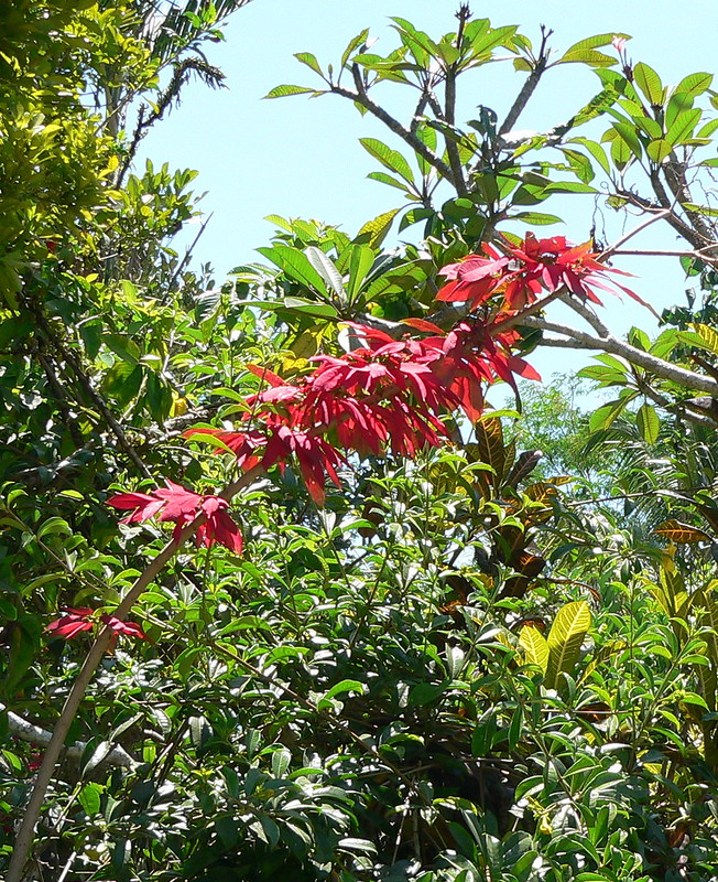 Euphorbia pulcherrima- Poinsettia, étoiles de Noël  :bouturage, entretien - Page 2 21069304063_1490cee326_c