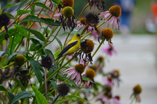 Goldfinch in Coneflowers