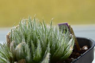 DSC_0493 Haworthia bella MBB6798 Houtkloof, upper Elandsrivier valley