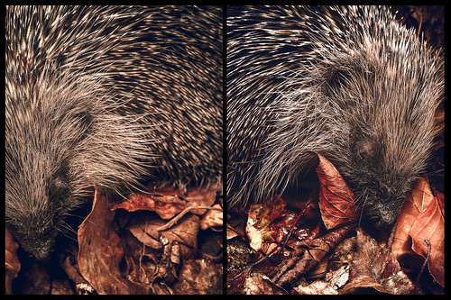 Hedgehog // 02 10 15