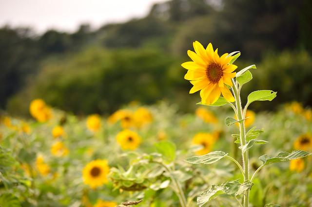 秋のヒマワリ Sunflower field