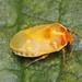 Bug - Eurydema oleracea by timz501