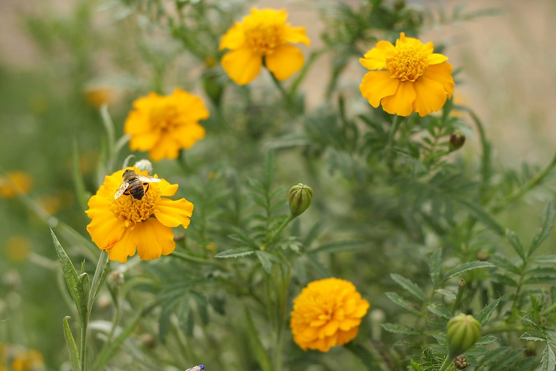 bee fly on the marigolds