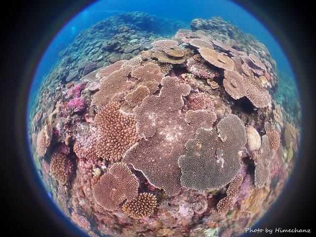 黒島のサンゴ、だいぶ復活してきてます♪