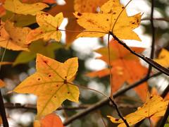 American Sweetgum Leaves