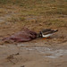 Small photo of Turnstone feeding on Grey Seal afterbirth