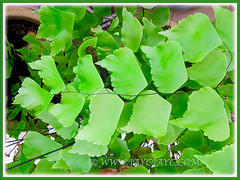 Horizontal view of Adiantum trapeziforme (Giant/Diamond Maidenhair, Trapezoidal Maidenhair), July 9, 2014