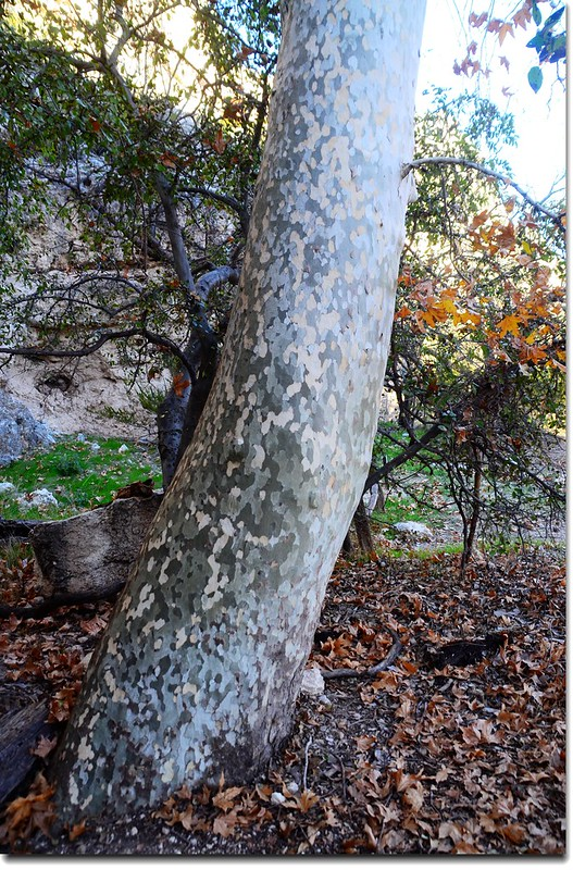 Arizona Sycamore (trunk)