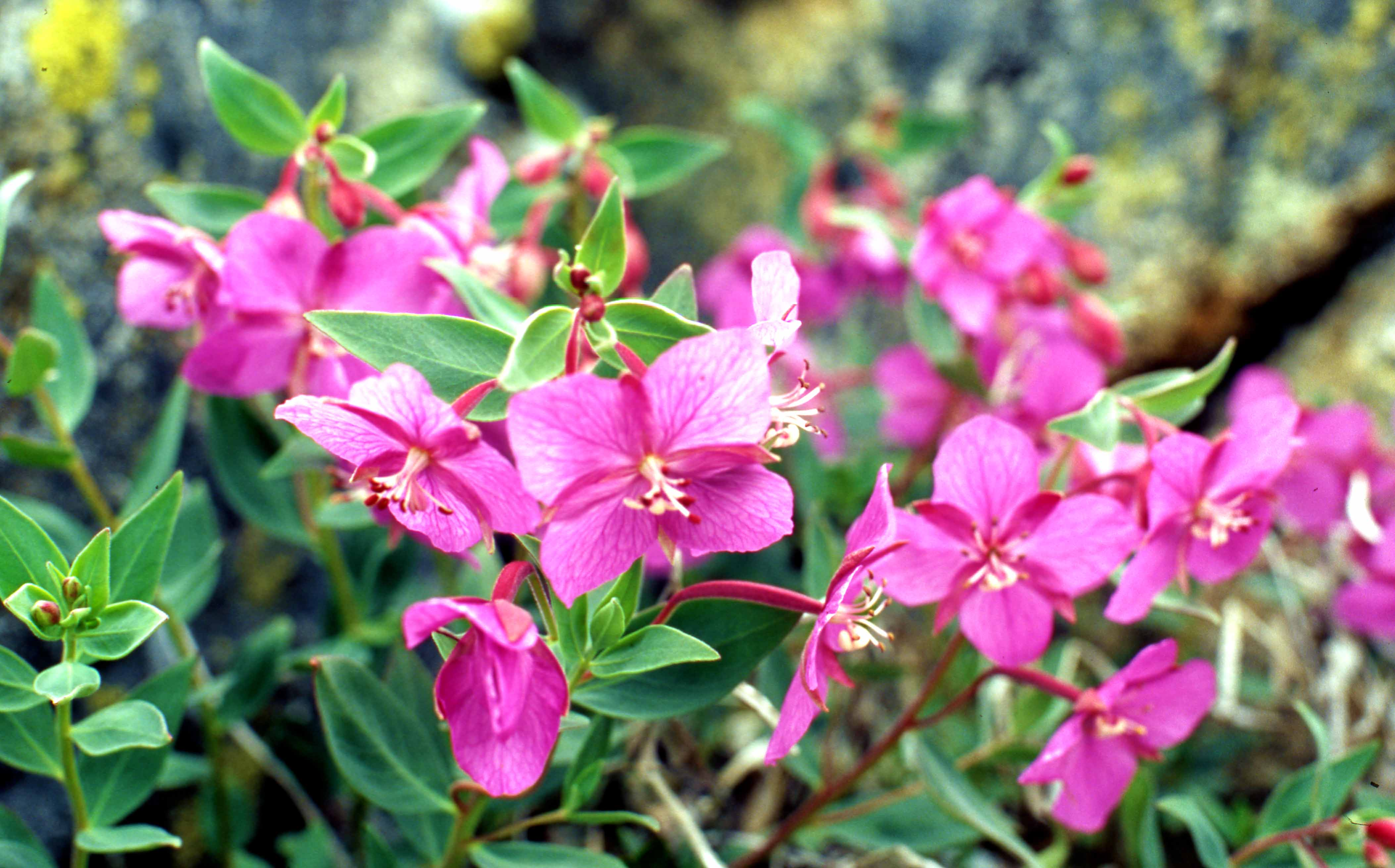 The national flower of Greenland: Dwarf fireweed (Chamerion