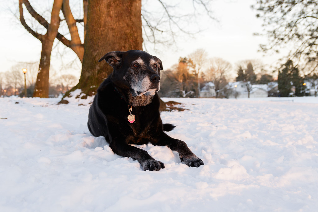 Our dog Ellie at sunset in the snow at Irving Park