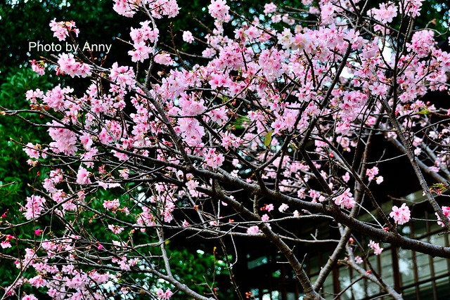 麗池櫻花73