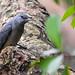 Black-winged Cuckooshrike (黑翅山椒鳥)