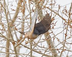 Sharp-shinned Hawk Takes Off