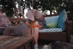 Another #weimgirl at the #weimparty - #bug, daughter of #friday.  #weim #weimcultclub #barrettweimaraners #instagram #weimaranersofinstagram #weimaraner #weim #california