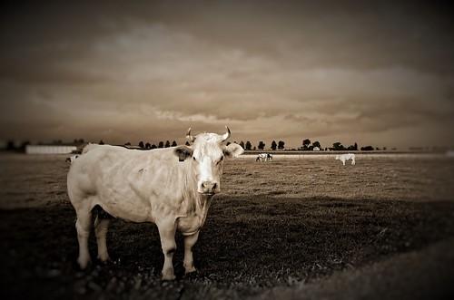 Koe langs Sacramentstraat te Houtem
