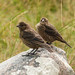 Young Brown-headed Cowbirds by annkelliott