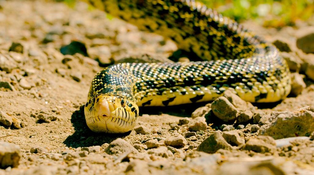 Snake_4