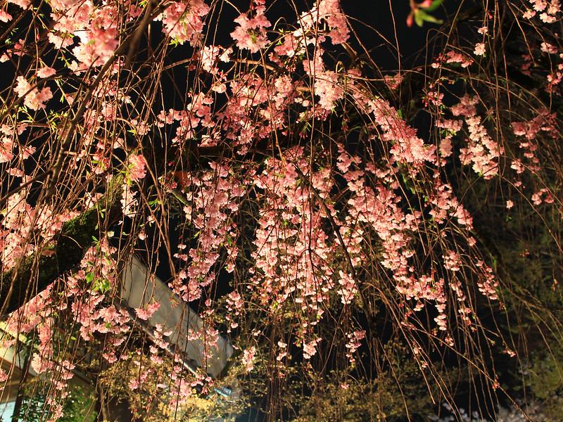 0403_祇園白川夜櫻 (24)