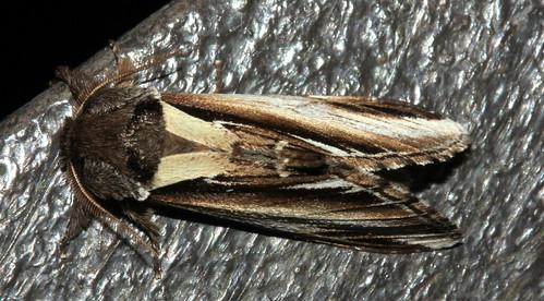 Lesser Swallow 2235