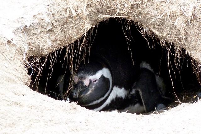 Magellanic Penguin / Spheniscus magellanicus at Seno Otway Pinguinera Punta Arenas Chile
