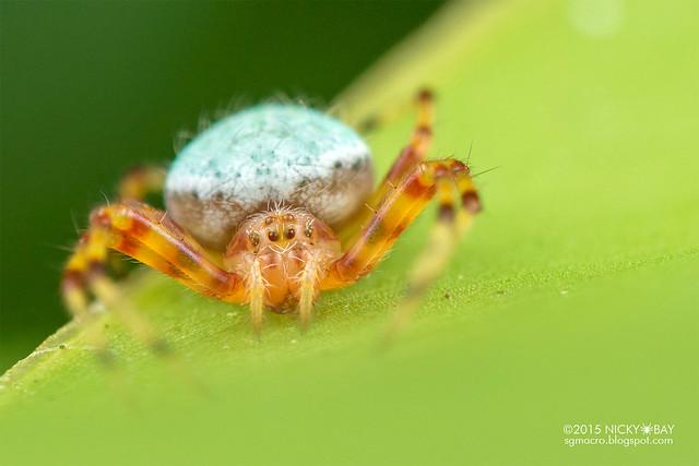 Orb weaver spider (Eriophora sp.) - DSC_9330