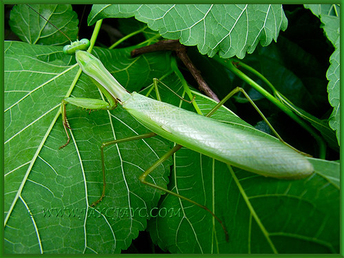 Praying Mantis resting on the Mulberry leaves, July 7 2015