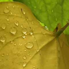 Leaves & raindrops  #nature #leaf #colorful #autumn