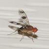 Chymomyza amoena - vinegar fly by treichard