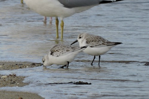 Sanderling #96 Lifer #138