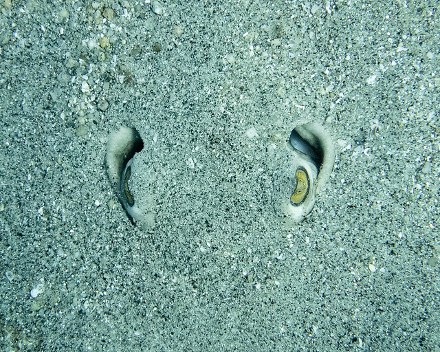 stingray eyes