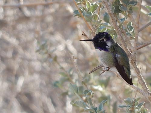 Borrego Palm Canyon Trail - Costa's kolibrie