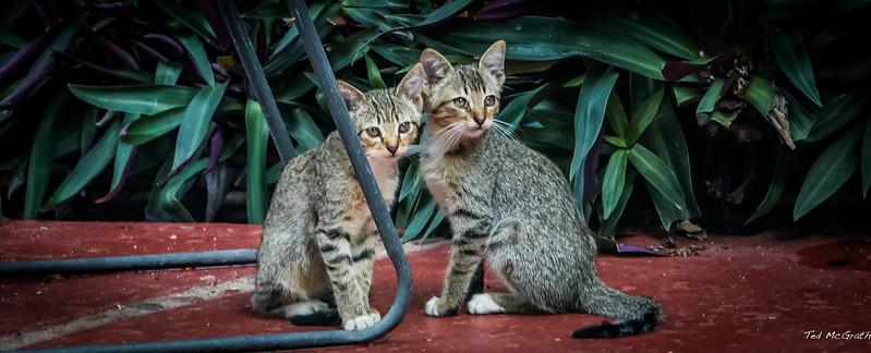 2015 - MEXICO - Chiapa de Corzo - Frisky Fixated Felines