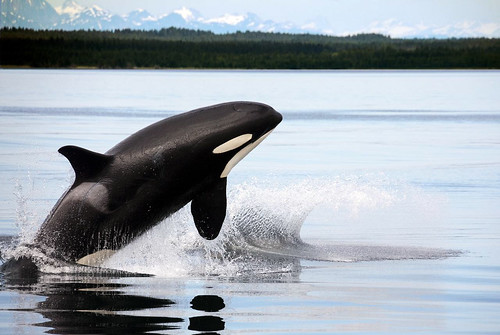 Born free.  A killer whale dancing in the sea.
