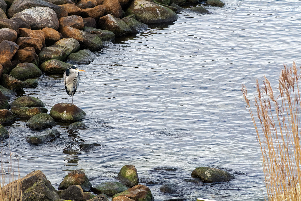 One Legged Egret In His Rocky Habitat