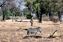 Crawshay's Zebra (Equus quagga crawshayi), South Luangwa NP, Zambia