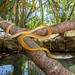 Golden Tree Snake (Dendrelaphis punctulata) by lockiegilding