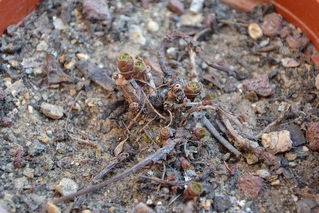 Phedimus kamtschaticus (= Sedum kamtschaticum) 32729348535_ea8f1b8179_z